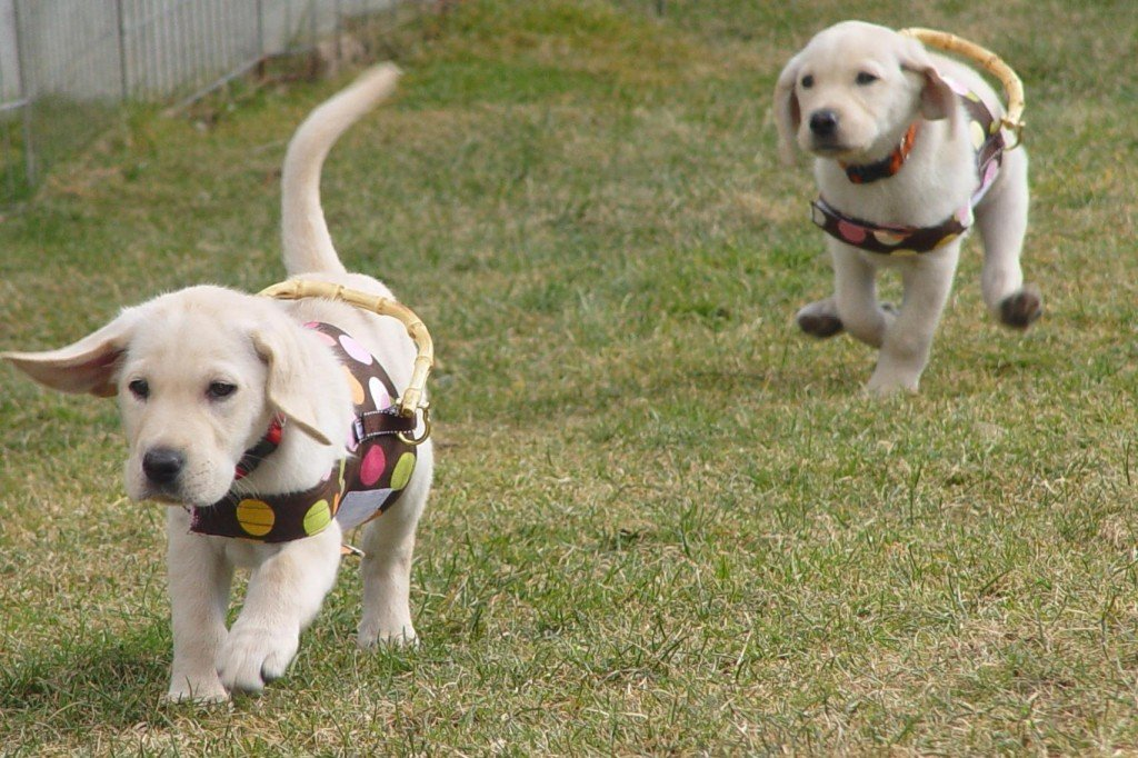 Guiding Eyes puppies in training, training puppies to be guide dogs, blond labrador retriever puppies running